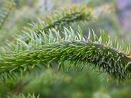 Podocarpus acutifolius