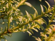 Podocarpus nivalis 'Livingstone'