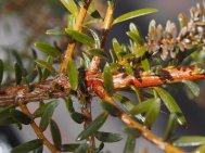 Podocarpus 'Red Embers'