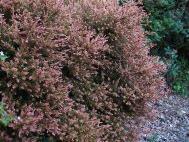 Podocarpus x 'County Park Fire'
