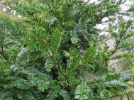 Cephelotaxus   harringtonia