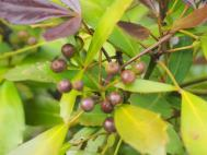 Pseudopanax seeds