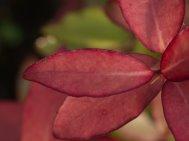 Pseudowintera 'Red Glow'