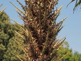 Puya berteronica