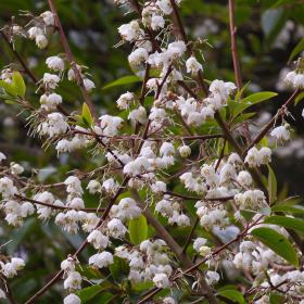 Rehderodendron macrocarpum