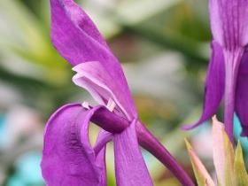 Roscoea purpurea