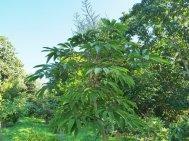 Schefflera myriocarpa