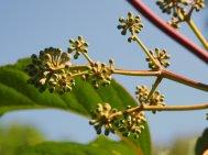 Schefflera pauciflora