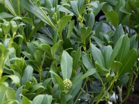 Skimmia japonica    'Kew White' - Female Form