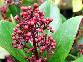 Skimmia   japonica 'Rubella' – male form