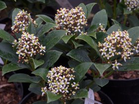 Skimmia    japonica 'Veitchii' – female form