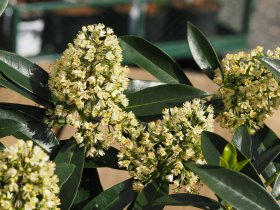 Skimmia x confusa  'Kew Green' - Male Form