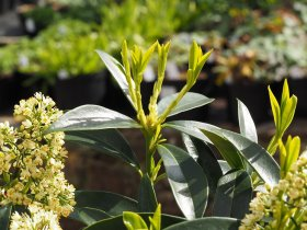 Skimmia x confusa  'Kew Green' - Male Form