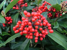Skimmia  japonica subsp reevesiana – hermaphrodite