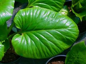 Cardiocrinum  leaf closeup