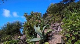 Proteas - at Caerhays