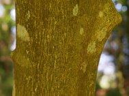 Styrax obassia