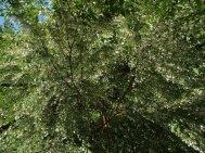 Unripe  Styrax formosanus
