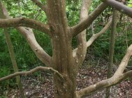 Styrax formosanus