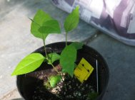 S.jap Emerald Pagoda seedling