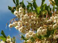 Styrax japonicus flowers
