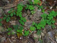Tropaeolum Seedlings