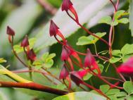 Tropaeolum   Flower buds