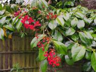 Tropaeolum  Growing through a camellia