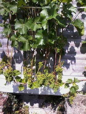 Vine with 2 spurs per bud after leaf pruning