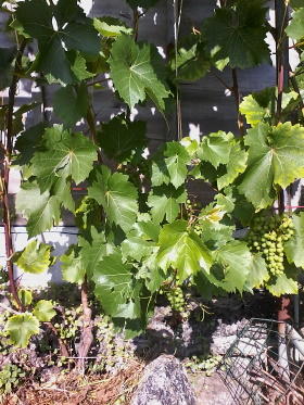 Vine with 2 spurs per bud  before leaf pruning