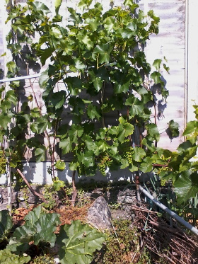 Vine with 2 spurs per bud