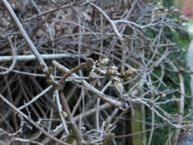Wisteria 3 or 4 buds