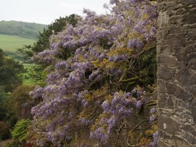 Wisteria at Caerhays Castle