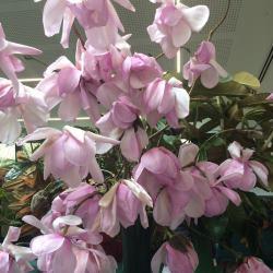 Magnolia sargentiana robusta x sprengeri 'Diva'
