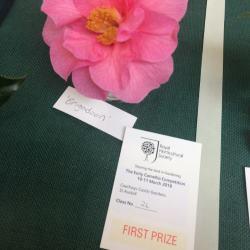 Camellia 'Brigadoon' Second Prize