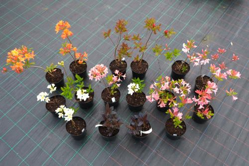 Sample azaleas