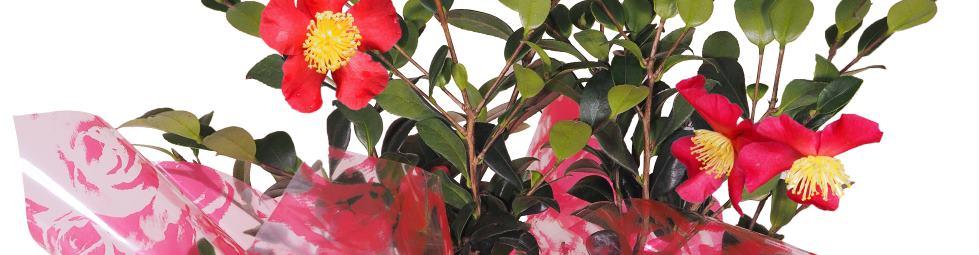 Camellia Banner