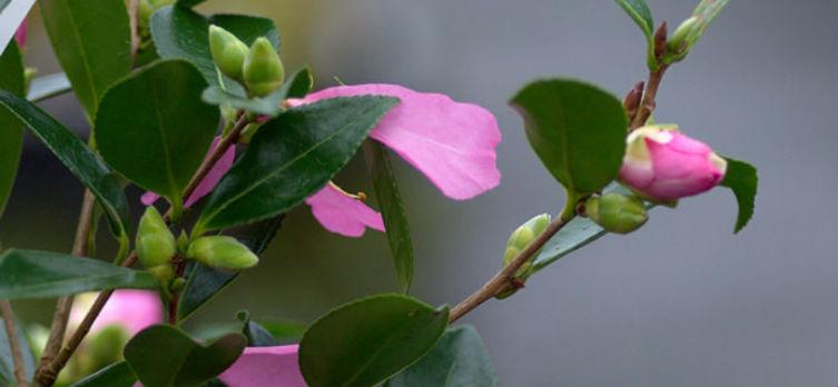 Camellia 'Hugh Evans' - sasanqua