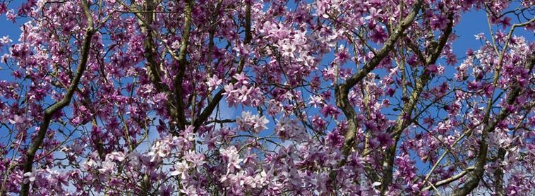 Spring Magnolia in Flower
