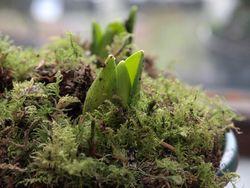 Hyacinths coming through moss.