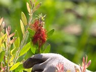 pruning callistemon 1