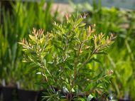 pruning callistemon 4