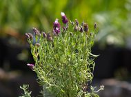 Lavender which needs deadheading