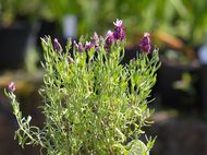 Lavender which has been deadheaded