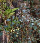 Australasian plants