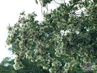 Eucryphia x nymanensis 'Nymansay'