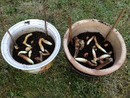 1. Plant tubers in a good quality compost mid April, with a 2