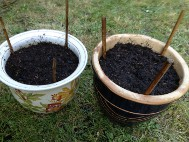 2. Plant supports or canes should be used now to prevent root and tuber damage later, or temporary canes can be used now and replaced as plants grow. Water well and protect from late frosts.