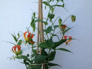 4. Feed regularly with a high potash feed to encourage flowers.