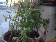 5. After flowering remove any seed pods. Water and feed until plants start to die back, then stop watering completely.
